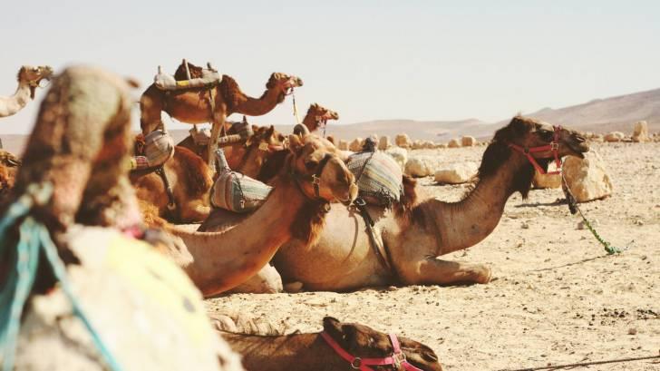 camels in the dessert