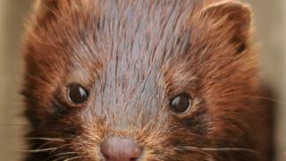 brown mink