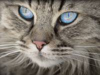 cat with bright blue eyes