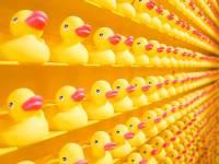 rows of plastic ducks, fake