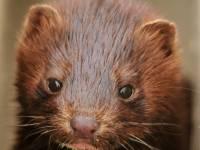 brown mink